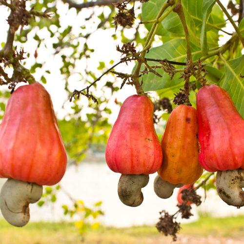 pommes de cajou bio