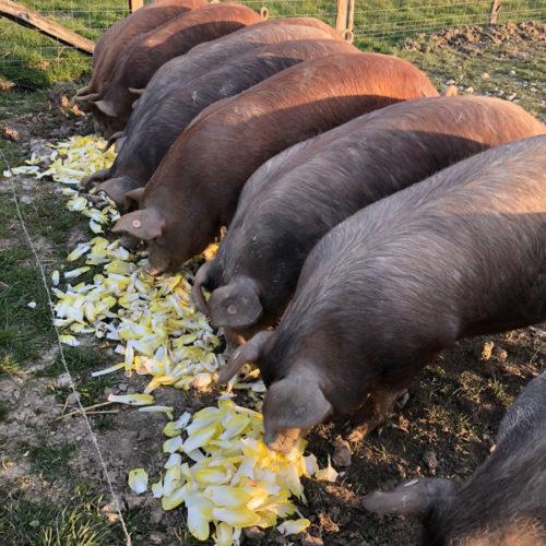 cochons qui se nourrissent