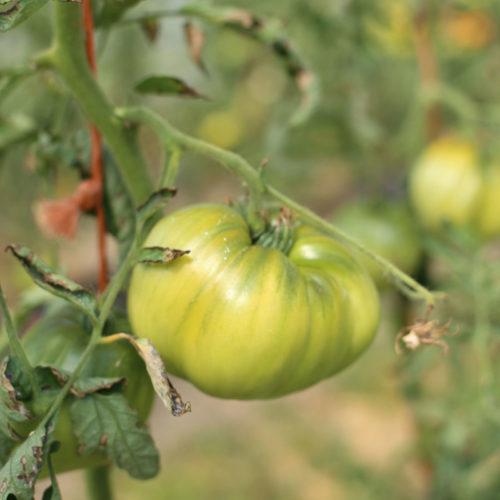 tomate bio