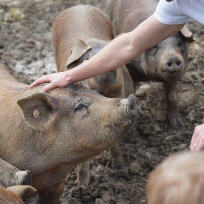 élevage de cochons en extérieur