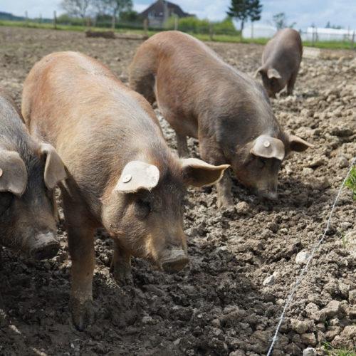 cochons en extérieur